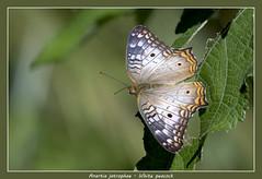White peacock (Jan H. Boer, Nature photographer) Tags: anartiajatrophae whitepeacock butterflies insects nature macro costarica turrúcares nikon d500 afsnikkor200500f56eedvr jan´sphotostream2017