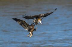 Battle for the skies (nikunj.m.patel) Tags: eagles baldeagles nikon nature wild fight outdoors photography summer migration raptors birdofprey