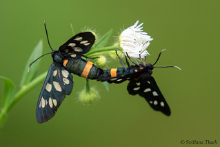 Nine-spotted moth (Amata phegea)