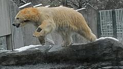 Sprung ins kühle Nass  -  jump into the cool water (karinrogmann) Tags: eisbär polarbear orsobianco saltanellacquafresca zooschönbrunn wien