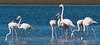 D50_6264.jpg (ManuelSilveira) Tags: flamingos aves fauna óbidos leiria portugal pt