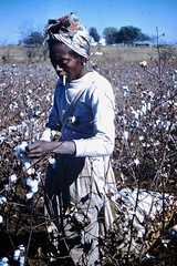 Found Photo - Woman in Cotton Field (Mark 2400) Tags: found photo cotton field harvest