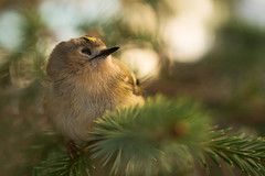 Common Goldcrest Regulus regulus (janmangorfagerland) Tags: animal birds birdphoto bokeh colours d800e 300mmvrii28g tree green janfagerland karmøy light nikon nature norge norway natur nikkor ornithology photography sleep