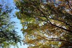 Oaks & Blue Sky (Gene Ellison) Tags: tree oak leaves blue sky fallcolor