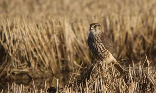Esmerilhão   Merlin (Falco columbarius)