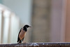 uk 2G6A4998 (uday khatri photography) Tags: bird udaykhatriphotography udaykhatri amazing art abstract birds beautiful bulbul sunset sun sky fine flying animal nature creative canon india ahmedabad architectural care landscapes city clouds crow color small