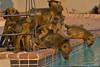 Crowded at the pool (NettyA) Tags: 2017 africa botswana capebaboon chobebushlodge chobenationalpark papioursinus chacmababoon swimmingpool travel wildlife baboonsdrinking water animals