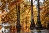 Cyprès chauves (Boulieu- 38) (chapuis_sophie) Tags: 2017 automne cyprã¨s cyprã¨schauves dauphinã© eau etang isã¨re octobre pond water cyprès cyprèschauves dauphiné isère