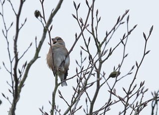 Hawfinch Great Hampden 04-11-2017-1-2