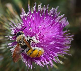 Yellow Flower Wasp  Campsomeris tasmaniensis