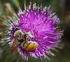 Yellow Flower Wasp  Campsomeris tasmaniensis (Neil Cheshire) Tags: wasp scoliidae campsomeristasmaniensis yellowflowerwasp pollen thistle hairyflowerwasp