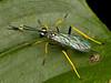 Schlupfwespe (Eerika Schulz) Tags: ichneumon wasp schlupfwespe wespe mindo ecuador