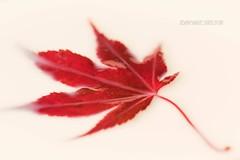 Red Maple (jeanmarie's photography) Tags: simple minimalistic minimalist minimalism whitebackground bokeh dof shallowdepthoffield closeup nature nikon tamron macro fall autumn red leaf jeanmarieshelton