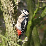 GREAT SPOTTED WOODPECKER P1490470 thumbnail