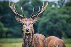 Oh deer oh deer (Lowe_Matthew) Tags: deer richmond park winter antler sunday canon zoom animal nature