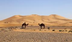 Camel Parking (Alex L'aventurier,) Tags: maroc morocco désert desert ergchebbi sahara camels chameaux dromadaires bosses dunes sable sand sky ciel