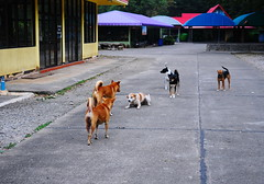 ,, Sacrificial Lamb ,, (Jon in Thailand) Tags: mama rocky booboo 2tone angeleyes dj red purple blue green yellow thehooligans dogs manydogs 6dogs dogtails dogears dogexpressions nomansland concreteroad roof roofs thebrowns streetdogs jungle deepjungle themonkeytemple nikon d300 nikkor 175528 dogpaws theboundaryline manyroofs colorfulroofs tinroof teal doggreeting manycolors newroofs littledoglaughedstories