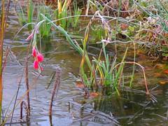 erster Frost im Teich (Sophia-Fatima) Tags: pond gartenteich wassergarten mygarden meingarten naturgarten gardening november frost
