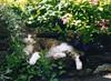 Farewell Poppy, my little star (skipscales) Tags: tabby tabbywhite shorthair cat poppy summer garden rip