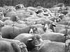 Schafe auf der Münsinger Heide (nori pi) Tags: schwarzweis schafe münsingen heide alb schwaben herde wolle fell