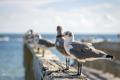 Taking a Break in Key West (mattpacker1978) Tags: gull bird sea beach feathers relaxing vacation florida wings webbed colours canon canon700d canondigital canonphotography