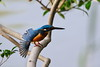 Do you like ? (kazs2307) Tags: kingfisher bird birds blue nature カワセミ 鳥 青 羽 自然