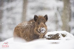 Wild Boar piglet (Tatra Photography) Tags: wildboar susscrofa closeup portrait young youngster piglet snow winter cold hungry foraging captive