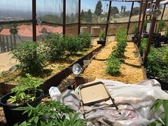 IMG_5347 (CannaPsy) Tags: medicalcannabis medicalmarijuana cannabis organic sungrown truelivingorganics notill weed ganja herb dank caliweed cleanmeds ecofriendly legalization warondrugs prohibition