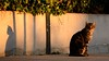 Ei, ..who's there? (Raquel Borrrero) Tags: cat gato callejero fotocallejera gatito nikon street shadow sombra animal animallife wall mascota pet mammal goldenhour felino alerta mamífero muro