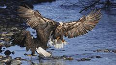 9V8A3605 W (speymeiser) Tags: eagles raptors birdsofprey