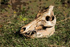 Skull-Dugery! (GlensLens!) Tags: hog boar pig skull lachuatrail
