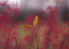 Last leaves (Baubec Izzet) Tags: baubecizzet bokeh nature autumn leaves
