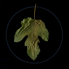 """Fig Leaf"" (helmet13) Tags: d800e raw flora ficuscarica fig leaf autumn fall cooktop aoi peaceawards world100f"