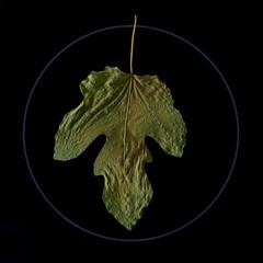 """Fig Leaf"" (helmet13) Tags: d800e raw flora ficuscarica fig leaf autumn fall cooktop aoi peaceawards world100f"