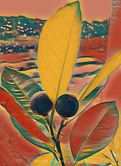 Oranges (Rollingstone1) Tags: orange tree window scene colour vivid nature art artwork music naranja ornamentalorange plant calamondin artdigital fruit