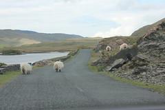IMG_3291 (avsfan1321) Tags: ireland killaryfjord countygalway countymayo connemara wildatlanticway fjord lake water sheep