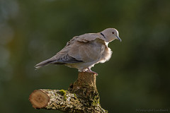 Tourterelle turque_0845 (lucbarre) Tags: tourterelle tourterelles tourterelleturque oiseaux bird birds turque landes estampon extérieur oiseau arbre animal bois