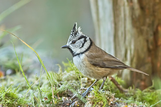 A crested tit