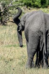 Mutant elephant with double trunk spotted in Botswana! (PhilHydePhotos) Tags: africa botswana elephant mutant safari shindecamp trunk animalplanet