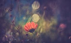 Wildflower (Dhina A) Tags: sony a7rii ilce7rm2 a7r2 schneider kreuznach xenar 75cm f28 xenar75cmf28 vintage old folding camera wild flower marigold 75mm bubblebokeh bokeh