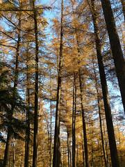 Larches in autumn (joeke pieters) Tags: 1370046 panasonicdmcfz150 larix lariks larch lork lärchen lariksen larixen larches bomen trees veenhuis woold winterswijk achterhoek gelderland nederland netherlands holland bos forest woods wald gelderschlandschap