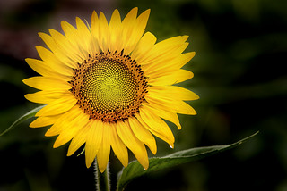 Summer Sunflower 3-0 F LR 7-22-17 J007