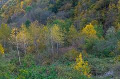 DSC_0687.jpg (giuseppe manganini) Tags: betulle larici abete autunno foliage coloti