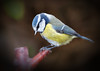 """""""Make My Day"""". (mortimer.adrian) Tags: nature bird bluetit detail beauty colour"""