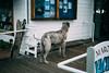 Veedon Fleece (Dana L. Brown) Tags: irish wolfhound book passage sausalito