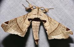 Silk Moth (Apatelodes pandara) (berniedup) Tags: moth roura guyana silkmoth silkwormmoth apatelodidae taxonomy:binomial=apatelodespandara kaw apatelodespandara