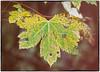171128-1 (sz227) Tags: herbst herbstblätter herbstfarben leaves leav autumn sz227 zackl sony sonyilca77m2