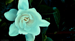 explosion vital (ojoadicto) Tags: jazmin flower flor nature naturaleza digitalmanipulation artisticphotography manipulaciondefotos