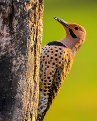 Northern Flicker - portrait (dbking2162) Tags: birds bird nature nationalgeographic beauty male outside green stunning animal