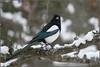 KUS_9813 (Weinstöckle) Tags: elster rabenvogel vogel schnee winter